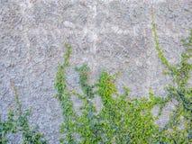 Luke verfiel Zementwand mit Efeu stockbilder