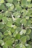 lukrecjowa roślina Obrazy Royalty Free