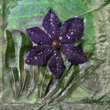 Lukrowy Clematis kwiat Obraz Royalty Free