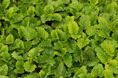Luksusowa cytryna balsamu ziołowa roślina opuszcza naturalnego tło obraz royalty free