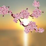 Luksusowa Japońska wiśnia Gałąź różowy czereśniowy okwitnięcie ilustracja wektor