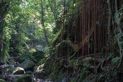 Luksusowa porośle dżungli roślinność w zwartym tropikalnym lesie deszczowym Małpi las, Bali wyspa, Indonezja zdjęcie royalty free