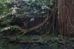 Luksusowa porośle dżungli roślinność w zwartym tropikalnym lesie deszczowym Małpi las, Bali wyspa, Indonezja obrazy royalty free