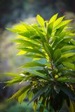 Luksusowa zielona roślina z dużymi liśćmi Obrazy Royalty Free