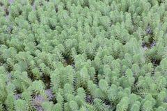 Luksusowe nadwodne rośliny Zdjęcia Stock