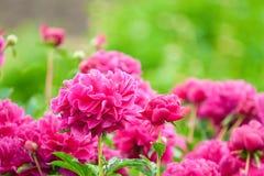 Luksusowi kwiatów łóżka w ogródzie Zdjęcia Royalty Free
