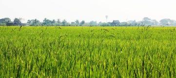 Luksusowi ryż pola Obrazy Stock