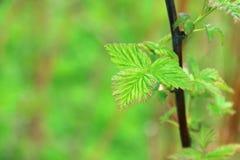 Luksusowi wiosny zieleni liście agrest Obrazy Royalty Free