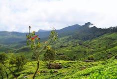 Luksusowi Zieleni wzgórza i Herbaciani ogródy w Naturalnym krajobrazie w Munnar, Idukki, Kerala, India zdjęcie royalty free