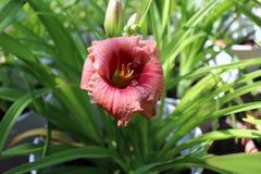 Luksusowy kwiatu Daylily, Hemerocallis w ogródzie, w górę jadalny kwiat Daylilies s? odwiecznie ro?linami One tylko zdjęcie royalty free