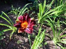 Luksusowy kwiatu Daylily, Hemerocallis w ogródzie, w górę jadalny kwiat Daylilies s? odwiecznie ro?linami One tylko obraz royalty free