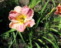 Luksusowy kwiatu Daylily, Hemerocallis w ogródzie, w górę jadalny kwiat Daylilies s? odwiecznie ro?linami One tylko zdjęcia stock