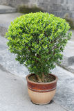 Bonsai Obraz Stock