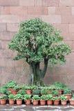 Bonsai Obraz Royalty Free