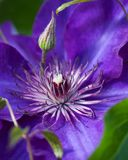 Luksusowy purpurowego Clematis okwitnięcie Obrazy Stock