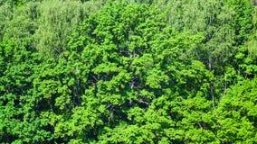 Luksusowy ulistnienie dębowy drzewo w zielonym lesie w lecie zdjęcia royalty free