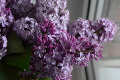 Lukten av lilor Arkivbild