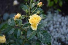 Lukten av rosen är gul i sommarträdgården royaltyfri foto