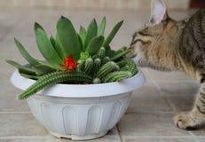 Lukten för tigerkatten, sniffar den röda kaktusblomman royaltyfria foton