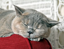 Lullaby pussycat. Photo of a beautiful pedigree british shorthair cat fast asleep on top of her favourite sofa Stock Images