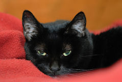 Lulu. Is snuggled on her red blanket Stock Photos