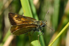 Lulworth skipper (Thymelicus acteon) showing marking on forewing Stock Photos