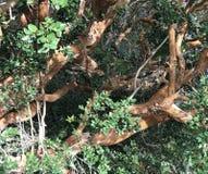 Luma apiculata drzewo & x28; Chilijski myrtle& x29; fotografia stock