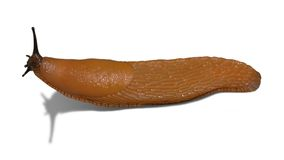 Lumaca arancio isolata su bianco Fotografia Stock Libera da Diritti