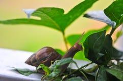 Lumaca che mangia le foglie verdi in un giardino Fotografia Stock