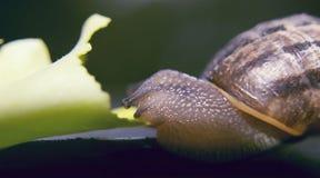 Lumaca che mangia una foglia di lattuga Immagine Stock