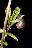 Lumaca che si arrampica su un foglio della pianta Immagine Stock Libera da Diritti