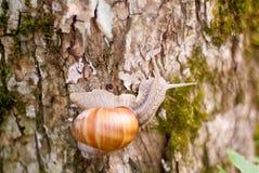 Lumaca che si arrampica sull'albero Immagini Stock
