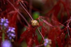 Lumaca che si siede sul fogliame rosso dell'acer palmatum piangente dell'albero di acero giapponese di Laceleaf in giardino fotografia stock libera da diritti