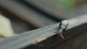 Lumaca che striscia sul bordo di legno 2 video d archivio