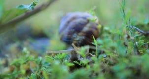 Lumaca che striscia sull'erba video d archivio