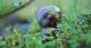 Lumaca che striscia sull'erba stock footage