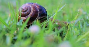Lumaca che striscia sull'erba archivi video
