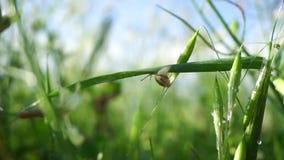 Lumaca che striscia sulla lama di erba archivi video