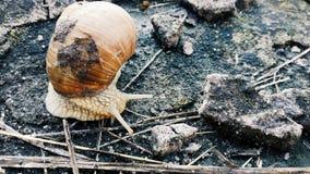 Lumaca che striscia sulla terra Fotografie Stock