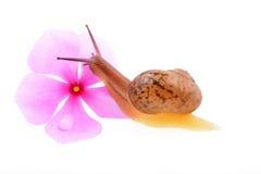 Lumaca con un fiore porpora Fotografia Stock