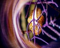 Lumaca della lingua del fenicottero in un corallo porpora fotografia stock