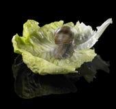 Lumaca della vigna sulla foglia verde della lattuga Immagini Stock