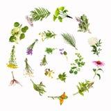 Lumaca delle piante medicinali, spirale, isolata Immagine Stock