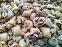 Lumaca di mare della conca Fotografie Stock Libere da Diritti
