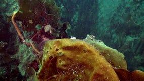 Lumaca di vetro del nudibranch subacquea su fondale marino del mare di Barents video d archivio