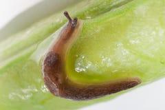 lumaca a forma di c sul baccello di pisello immagine stock