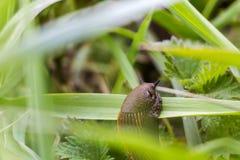 Lumaca nell'erba, Lussemburgo Fotografia Stock Libera da Diritti
