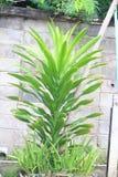 Lumaca o gasteropodo alla foglia per mostrare pace della natura Erba tailandese: Aloe Vera Tree che è uno dell'albero che può aiu fotografie stock libere da diritti