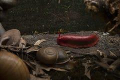 Lumaca rossa Immagini Stock Libere da Diritti
