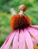 Lumaca su un fiore Fotografie Stock Libere da Diritti